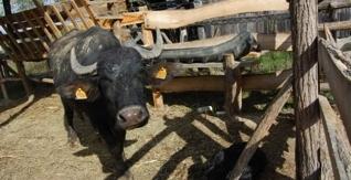 Viehzucht unter natürlichen Umständen für gesünderes Fleisch