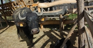 Raising cattle in extensive system for healthier meat